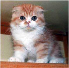 Scottish fold cat.. Will have one....with my imperial shih tzu and old english bull dog.  Will get all at same time.  Mac (bulldog, named after me haha) Marley Jr (Named after my other shih tzu), and kitty--tbd