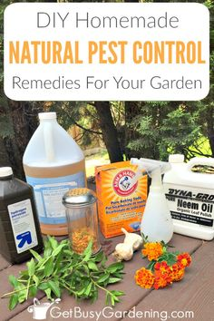Natural Garden Pest Control Remedies And Recipes Don't use chemicals for garden bug control, they do more harm than good! Try these easy DIY natural garden pest control remedies and organic recipes instead. Diy Pest Control, Bug Control, Weed Control, Garden Bugs, Garden Pests, Garden Insects, Garden Care, Herbs Garden, Japanese Beetles