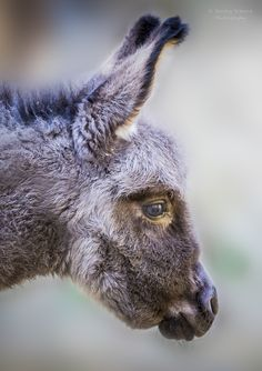 Donkey foal portrait - title Donkey Baby - by Sandra S. on 500px