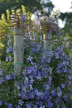 Chalk Hill clematis. Nice wire touch on top of posts. ~~ My sister has pink clematis growing on a trellis across the top of her garage and it is breathtaking in spring.