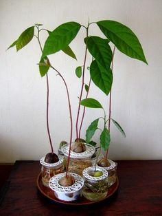 種から出る芽がかわいくて♪【水だけでアボカド栽培】簡単に始めるのがいいね! | ギャザリー