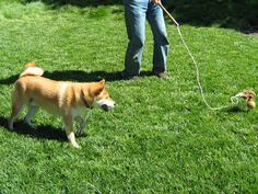 Shiba Inu doing a point and stare at the flirt pole toy. He is getting ready to give chase.