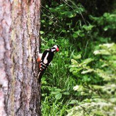 Nel bosco si fanno un sacco di incontri! #picchiorosso #animalidelbosco #falchetto #falchettonature #bosco #natura #fantasticiincontri #trekking #istalove #istanature @visittrentino @valdinon @trentinodavivere