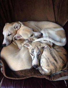 Whippet puppy pile. Sweet!
