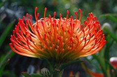 Another type of protea flower