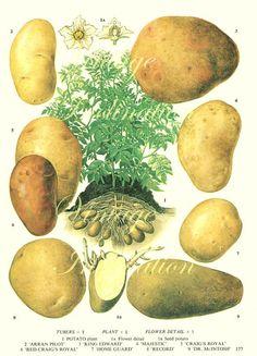 Vintage botánico imprimir antiguos Papas 177, planta Grabado Botánico impresión, bookplate arte grabado, vegetales plantas pared plantas