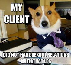 Lawyer corgi