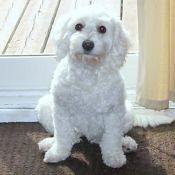 Gracie...sweet malti-poo. Maltipoo, Rescue Dogs, Sweet, Animals, Animales, Animaux, Animal, Animais