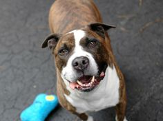 TO BE DESTROYED 12/4/13 Manhattan Center -P  BO  #A0985551 Male brown and br brindle pit bull mix  2 YRS STRAY 11/21/13  A man of worldly curiosity and infinite charm. On walks he kicks into agility mode, jumping up and over a park benches!   Bo turns out to be a playful pup Having aced his behavior assessment, Bo should be a wonderful addition to most families. So, come down to the Care Center today and give Bo something to wag about - a new family, new friends and a mountain of love!