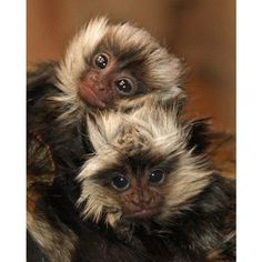 Little Rock Zoo Announces Little Monkey Twins Primates, Mammals, Nature Animals, Animals And Pets, Monkeys Animals, Strange Animals, Wild Animals, Beautiful Creatures, Animals Beautiful