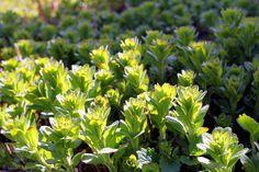 Parsley, Herbs, Garden, Plants, Healthy, Garten, Lawn And Garden, Herb, Gardens