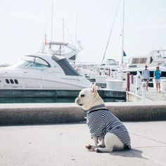 Theo, the French Bulldog, waiting for his Yacht to come in, #theobonaparte on…