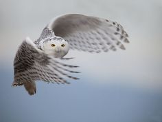 {an irruption of snow owls} in Polson, Montana ... fascinating article!