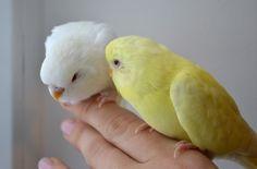 Lutino and albino budgie babies. Lutiino ja albiino viirpapagoi tibud.