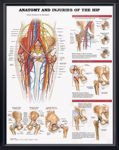 Poster illustrates general hip anatomy including bones, muscles, arteries, veins and nerves. - Skeleton