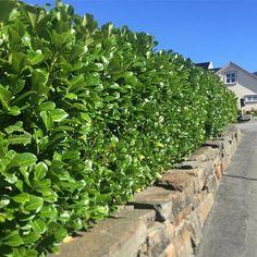 Laubærhegg steinmur Outdoor Decor, Plants, Outdoor, Stepping Stones, Landscape, Sidewalk