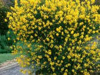 Spanish broom, Spartium junceum, is a perennial shrub, with cylindrical rush like branches, and large, light yellow, honey scented, pea like flowers all summer long. Its stick like branches make it look like a broom, hence its nickname.