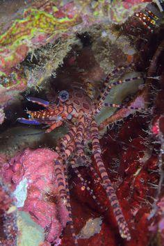 Marble Shrimp | Flickr - Photo Sharing!
