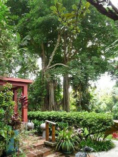 "The Kampong's ""wedding tree"", Coconut Grove (Miami, Florida)"