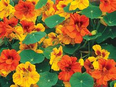Nasturtium - a climbing flower which is edible and very easy to grow from seed. They add a peppery punch to salads!