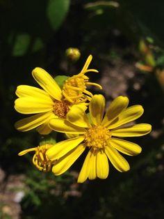 Eutaxia myrtifolia