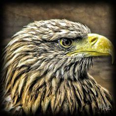 Eagle by AngelEowyn