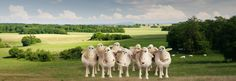 Meet the Sheep | Serta.com  Visit this link to meet the Serta Counting Sheep. Click on each one and see their story! Then stop in at America's Mattress and drop your counting sheep off to work with them while you get a good night's sleep on a Serta!  iComforts are still on sale! Buy an iComfort & get a free box! LIMITED TIME ONLY! 1595 Hustonville Rd., Danville, KY. Next to Arby's. 10-8 today! 859-236-5600.