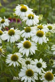 """PowWow® White Coneflower Echinacea purpurea  Herbaceous Mounding Perennial Fast grower: 16 - 20 """" H;  12 - 16"""" W Special features: Attracts Birds  Butterflies Blooms early summer to fall Cutting flowers; Long Bloom Season  An essential border plant for the all white garden, and useful for toning down brightly colored mixed borders. For architectural interest, leave some spent blooms on the plants in fall; the dried seed heads will provide food for finches and other seed foraging bird…"""