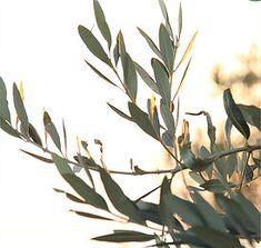 Olive leaves details