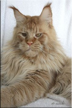 Magnificent ginger Maine Coon cat  http://www.mainecoonguide.com/maine-coon-vs-norwegian-forest-cat/