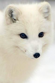 The arctic fox (Vulpes lagopus), also known as the white fox, polar fox, or snow fox, is a small fox native to Arctic regions. The beautiful white (sometimes blue-gray) coat acts as an effective winter camouflage.