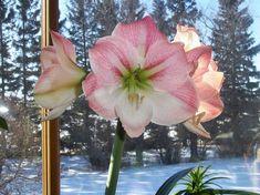 amarillisz kiultetese 05 Glass Vase, Plants, Gardening, Home Decor, Yellow, Decoration Home, Room Decor, Garten, Planters