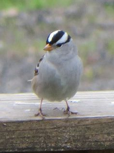 My best pic yet of a white-crowned sparrow!
