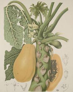 #HSASundayGarden: Papaya (Carica papaya). #SciArt by Berthe Hoola van Nooten for her book Fleurs Fruits et Feuillages Choisis de l'ille de Java (c1880). Read more about this work on my blog: http://ift.tt/2DGRpLo -- View the original in #BHLib: http://ift.tt/2DVTIO0