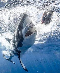 Pike Fishing, Trout Fishing, Kayak Fishing, Shark Pictures, Shark Photos, Life Under The Sea, Great White Shark, Ocean Creatures, Shark Week