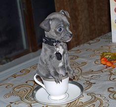 Blue chihuahua. So cute.