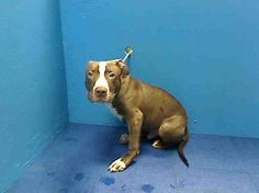 SUPER URGENT 5/23/13 Brooklyn Center  GRIZZLY - ID#A0966112  MALE, BROWN / WHITE, PIT BULL MIX, 5 mos Came in with his sister b/c of landlord issues  please share far and wide so this little boy makes it out alive https://www.facebook.com/photo.php?fbid=615059291840287=a.172404072772480.42595.152876678058553=1
