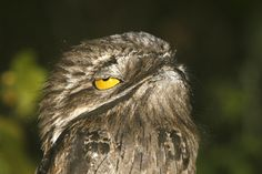 Have you ever seen a Potoo? Well, get ready!