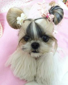 Shih Tzu – Affectionate and Playful Shitzu Puppies, Teacup Puppies, Cute Baby Dogs, Cute Dogs And Puppies, Cute Little Animals, Cute Funny Animals, Shih Tzu Hair Styles, Shih Tzu Puppy, Cute Animal Pictures