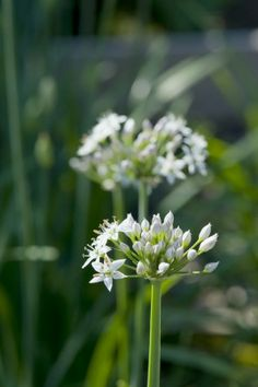 Why you should grow garlic chives - The Washington Post - not only are they good for cooking with - but they are attractive to Bees and Butterflies - a plant for them - and, yes, they have blooms, too (which you can cut back to get more fresh garlic chives for cooking)!!