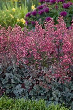"""Heurchera. The flowers of Coral Bells """"Sugar Berry"""" attract hummers."""