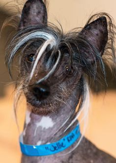 Jellie the Hairless Chinese Crested Foster Family, Pet Adoption, Chinese, Dogs, Animals, Animales, Animaux, Animal Memes, Animal