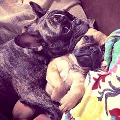 Snuggling French Bulldogs.