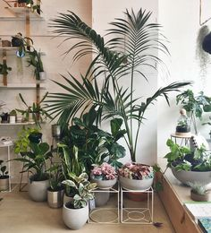 Ivy Muse Botanical Emporium | We're filled to the brim with tonnes of new plants (and the cutest pink Hypoestes!) Open today til 5pm #ivymuse #plantsmakepeoplehappy