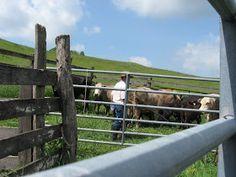 Cattle Farming, Livestock, Raising Cattle, Beef Cattle, Show Horses, Mountain Biking, Pens, Ranch, Longhorns