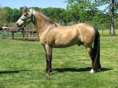 silver buckskin - Rocky Mountain Horse stallion Jaggers' Journey