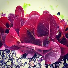 "@thequeenskickshaw's photo: ""Red romaine"""