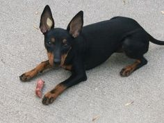 Manchester Terrier / English Toy Terrier / Black and Tan #Terrier #Dogs #Puppy