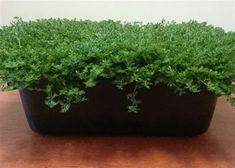 Bodendecker 1,49 € pro St 10 x Pachysandra terminalis /'Green Carpet/'