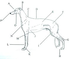 by Lori Amato and Ellie Goldstein Being the proud owner of greyhounds for the last five years it has come to my attention that when referring to parts of the greyhound's anatomy to describe the loc… Russian Wolfhound, Irish Wolfhound, Greyhound Art, Italian Greyhound, Dog Chart, Anatomy Images, Dog Anatomy, Scottish Deerhound, Bunny Drawing